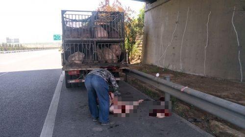猪贩只因为一只不听话的猪,下车杀猪的举动吓坏其他路过的民众。(图截自齐鲁晚报)