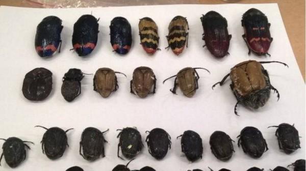 男子走私昆蟲被捕。(圖取自busseltonmail)