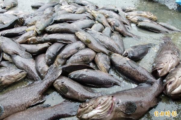 去年初台灣遭逢寒害,龍膽石斑養殖業者操失慘重,產險業者推出以溫度為理賠依據的「溫度參數養殖水產保險」。(記者蔡宗勳攝)