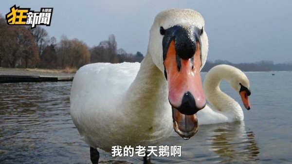 「我的老天鵝」的圖片搜尋結果