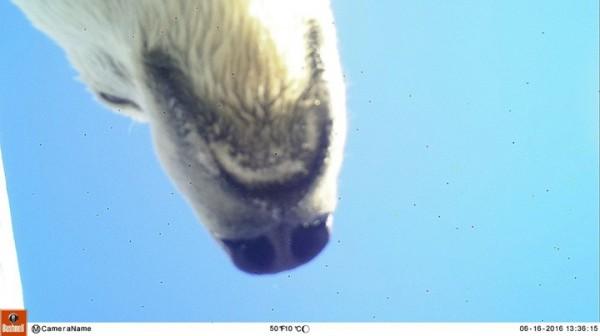 北極熊的自拍照。(擷取自《西伯利亞時報》)