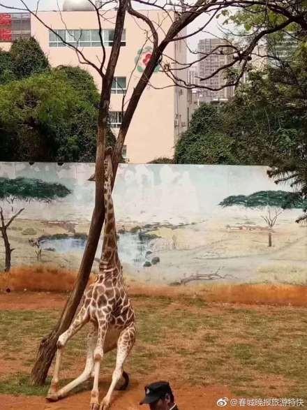 昆明動物園所飼養的長頸鹿「海榮」在樹旁磨蹭搔癢時,竟不慎把自己的頭卡在樹杈內,不幸搶救無效身亡。(圖擷自微博)