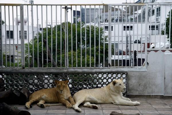 飼主說明樓頂外牆以白色鐵欄杆加高,防止獅群逃脫,也在地板上放置木板,增加獅群活動量。(法新社)
