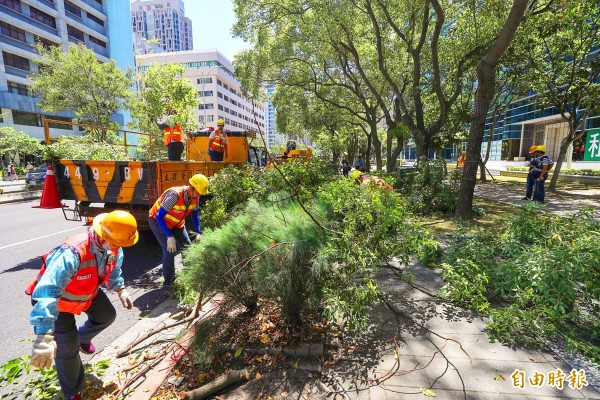 Workers from the Taipei Public Works Department trim trees in Taipei yesterday in preparation for the anticipated arrival of Typhoon Maria. Photo: CNA
