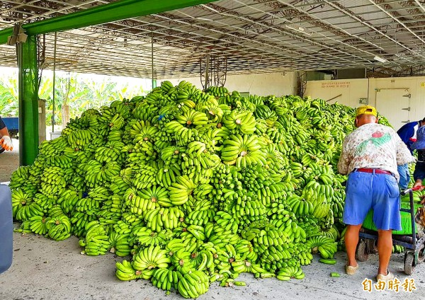 A man on Friday works next to a pile of bananas that are to be sent to livestock or composting farms in accordance with Council of Agriculture regulations.