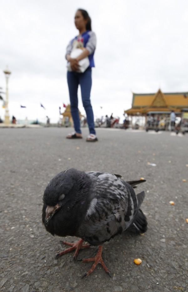 日本上週在候鳥排遺中發現H5N6禽流感病毒,南韓政府今(19)日證實,一間養鴨場同樣檢驗出H5N6高病原性禽流感病毒,南韓政府也隨即將禽流感警戒程序提升至最高級,可見禽流感病毒已在各國蠢蠢欲動。(示意圖,歐新社)