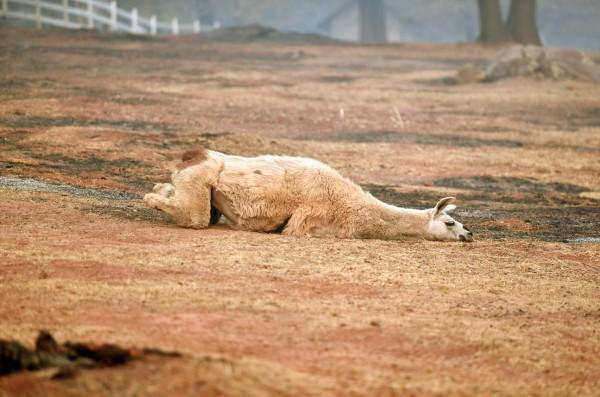 一隻筋疲力竭的大羊駝趴在天堂鎮裡遭野火蹂躪過的土地上。(法新社)