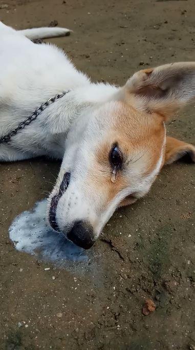 印尼日前傳出有隻忠犬在趕跑入侵的盜賊後,竟慘遭毒死,牠在毒發身亡前甚至痛苦到流下眼淚。(圖擷自Achy Wijaya 臉書)