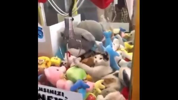 一隻花貓在娃娃機台裡睡覺,只見被吵醒的貓咪伸手拍掉網友夾中的娃娃。(圖擷取自影片)