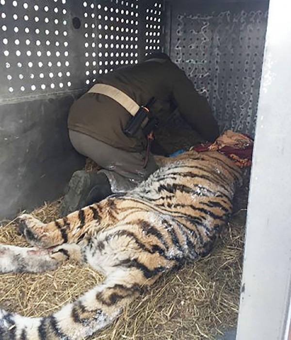 牙醫幫老虎檢查後發現牠有牙周病。(圖擷自The Siberian Times)