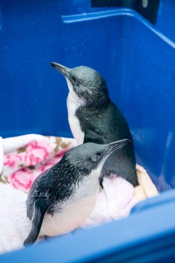 世界上最小的企鵝─「小藍企鵝」,近日被發現大量地因為食物匱乏與營養不良死亡,目前已有數百具屍體被發現,專家指出,全紐西蘭受到影響的企鵝可能高達數千隻。(圖翻攝自紐西蘭先驅報)
