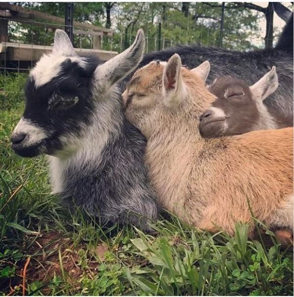山羊可愛模樣,讓許多人躍躍欲試想飼養來當寵物。(圖擷自Instagram)
