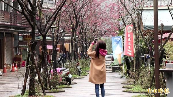 烏來瀑布前的櫻花盛開,吸引許多遊客拍照。(記者沈昱嘉攝)
