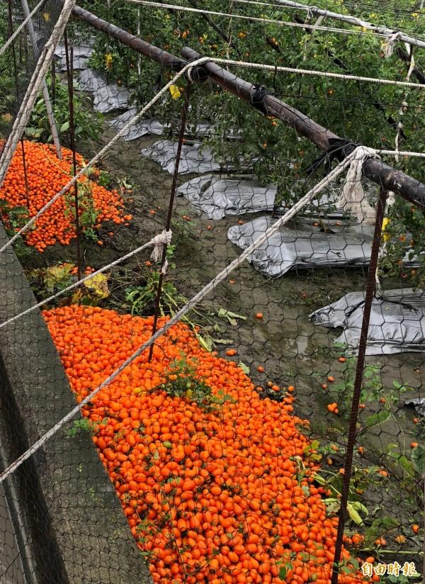 高雄市橙蜜香番茄落果嚴重。(記者陳文嬋翻攝)