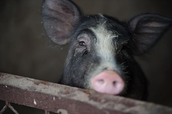 墨西哥傳出一起怪事,一名農夫日前酒後與一隻豬發生衝突打起了架,被咬傷了下體和3根手指,最後因傷口感染身亡。豬示意圖,與本新聞無關。(法新社)