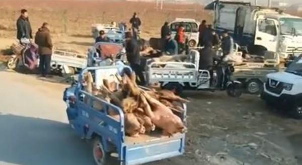 中國豬瘟疫情未獲控制,竟有黑心業者進行死豬交易。(圖擷取自影片)