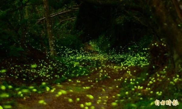 螢火蟲對人類有著強大吸引力。(資料照,記者吳俊鋒攝)