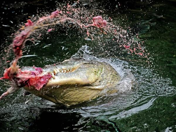 日前打獵消失的南非獵人經證實被尼羅河鱷吞下肚。(法新社)