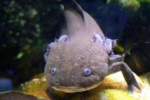 網友認真分析表示,這條「怪魚」應該是墨西哥鈍口螈。(圖擷取網路)