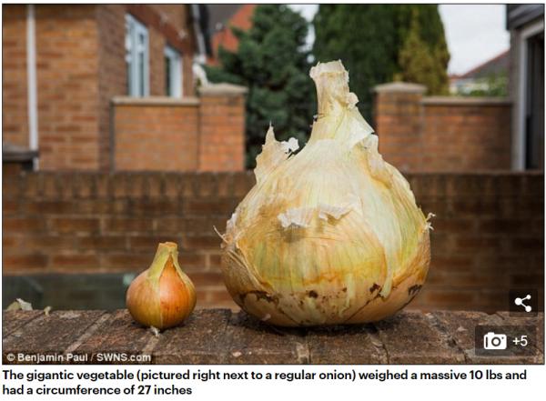 巨型洋蔥與一般洋蔥的比較。(翻攝自英國郵報)