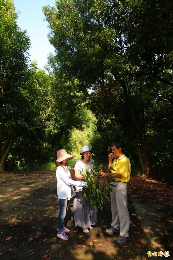 每年11月底至隔年2月為橄欖的熟果季節,現摘橄欖果的「採果樂」活動,也成為礁坑社區農遊體驗最熱門的行程!(記者潘自強攝)