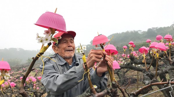 Farmer Liu Shih-lee fixes protective covers of his own design to a Japanese Hosui pear tree on his farm in Hsinchu County's Sinpu Township on Feb. 1. Photo: Huang Mei-chu, Taipei Times