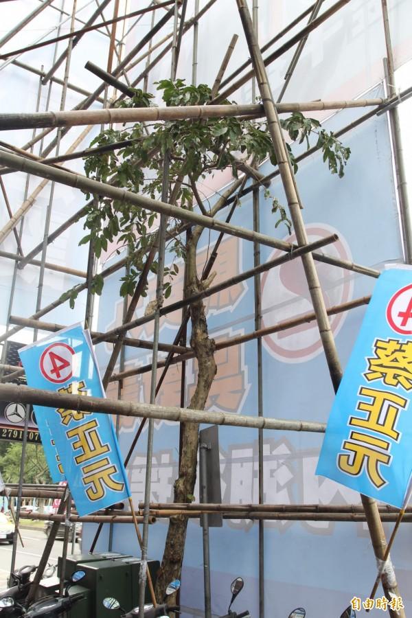 2012年時,蔡正元也曾遭到指責,蔡對其總部前的行道樹,進行枝幹砍除,圖為當時遭大量修剪的樹。(資料照,記者翁聿煌攝)