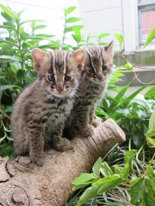 小小對馬山貓萌煞人類,觀覽遊客絡繹不絕。(圖取自京都市動物園官網)