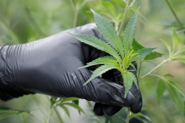 美國當局今(5)日指出,為打擊中國人在美國本土的大麻事業,已扣押加洲100間以上中國人名下疑似大麻農場的房產,圖為大麻示意圖。(路透)