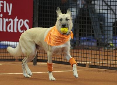 網球》訓練撿球遞球 巴西公開賽狗「球童」亮相