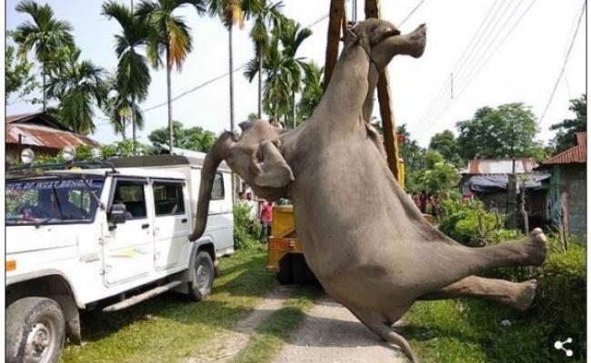 電線離地僅60公分...2隻大象誤觸電斃