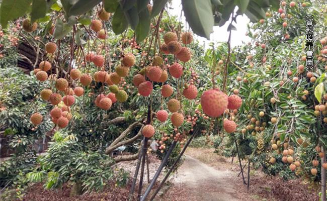 少雨蟲害雙打擊 南投荔枝農叫苦連天