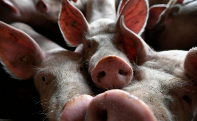 非洲豬瘟進逼德 中國豬肉外援受威脅