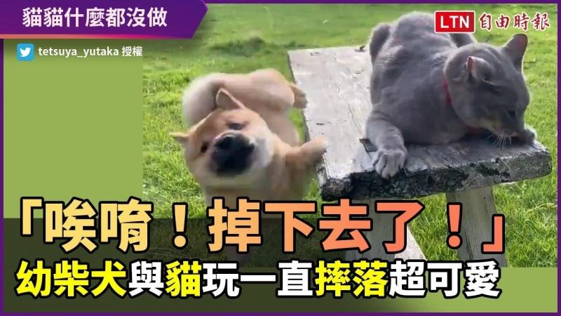 這次不是貓貓推下去的!幼柴犬與貓嬉鬧 自行摔落超可愛
