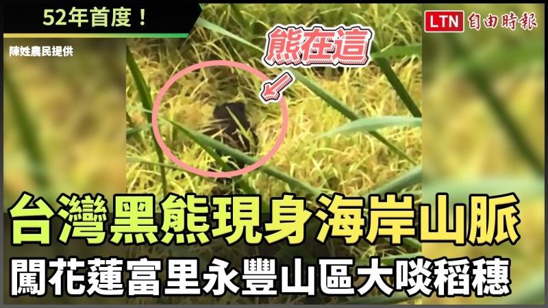 52年首度!台灣黑熊現身海岸山脈 闖花蓮富里永豐山區大啖稻穗