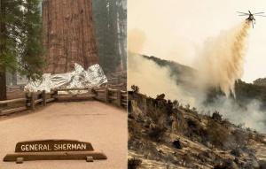 紅杉國家公園野火 世界最巨樹裹防火毯