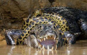 巨大森蚺對決鱷魚 生死激戰40分