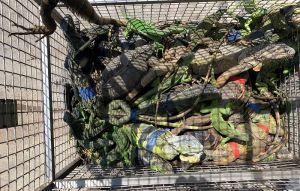 綠鬣蜥肆虐!屏縣10個月內已捕8769隻
