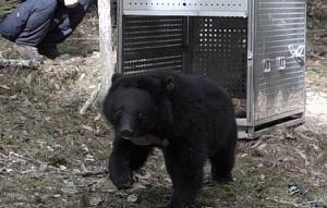 廣原小熊重返山林 野放紀錄首映感動村民