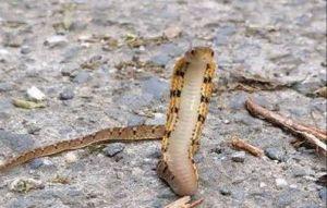 像眼鏡蛇合體響尾蛇!台灣特有萌蛇曝光