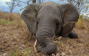 盜獵氾濫 莫三比克母象演化無象牙