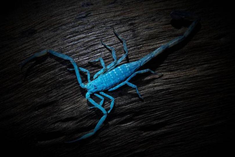 蠍子寶藍螢光! 紐籍攝影師:秘境在高雄