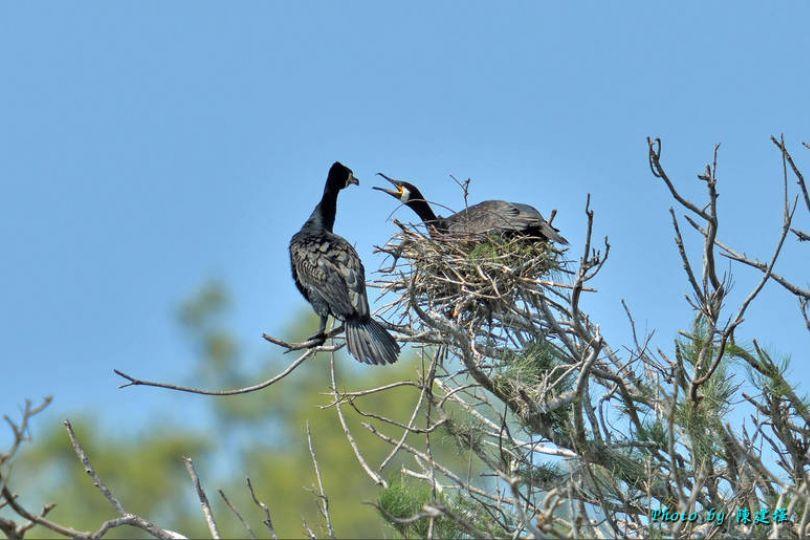 台灣首次紀錄 鰲鼓濕地鸕鶿築巢孵蛋