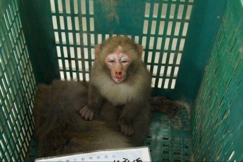日月潭獼猴遭路殺 母亡、幼女眼腫流鼻血