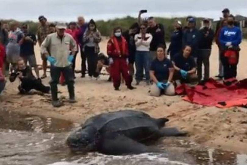 最巨海龜受困獲救 野放大海感人畫面曝光