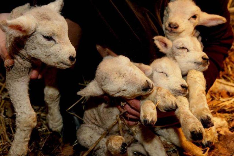剪毛發現5腳羔羊!第5隻腳竟長在頭上