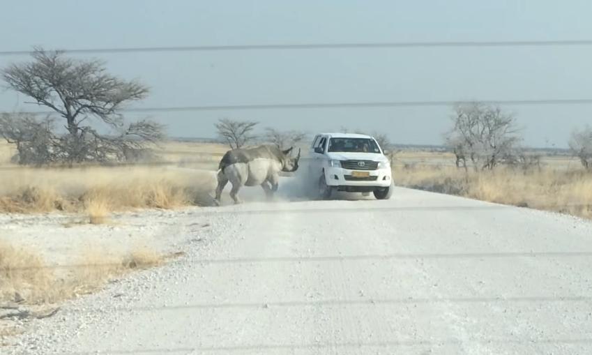 兩噸重犀牛衝撞 Toyota Hilux 休旅車   結果贏家是..(內有影片)
