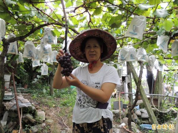 卓蘭葡萄正當時 歡迎民眾採購