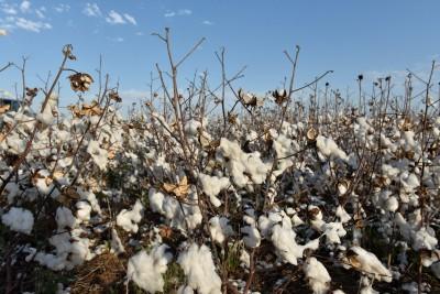 中國狂掃 美國棉價創6年新高