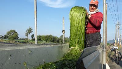 《科技與創新-8》農產循環再加值 讓水蓮變雙倍綠金!